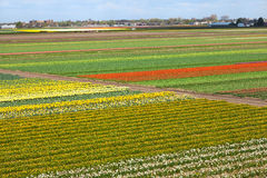 Dutch Landscape with Tulips Daffodils Fields Stock Image