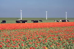 Dutch landscape: windmills, cows and tulips. Typical Dutch landscape: a with windmills, cows and tulips royalty free stock images