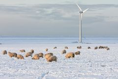 Dutch landscape with windturbine and sheep in snow covered meadow. Dutch winter landscape with wind turbine and sheep in snow covered meadow searching for grass royalty free stock photography