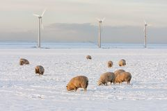 Dutch landscape with windturbine and sheep in snow covered meadow. Dutch winter landscape with wind turbine and sheep in snow covered meadow searching for grass royalty free stock images