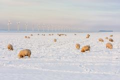 Dutch landscape with windturbine and sheep in snow covered meadow. Dutch winter landscape with wind turbine and sheep in snow covered meadow searching for grass stock image