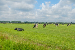 Dutch Landscapes - Baarn - Utrecht. Frisian Holstein cattle in green pasture, with a cloudy blue sky Royalty Free Stock Photography