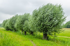 Dutch Landscapes - Baarn - Utrecht. Row of willow trees in windy Dutch landscape against cloudy sky Royalty Free Stock Photos