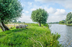 Dutch Landscapes - Baarn - Utrecht. Sheep on dike in Dutch landscape with a cloudy blue sky Royalty Free Stock Image