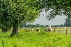 Dutch Landscapes - Baarn - Utrecht. Sheep walking on dike in Dutch landscape Royalty Free Stock Photo