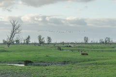 Dutch Landscapes - Oostvaardersplassen Royalty Free Stock Image