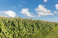 Dutch maize field with blue sky background Stock Image