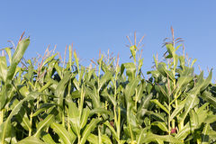 Dutch maize field with blue sky background Stock Photo