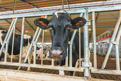 Dutch milk cow standing inside a farmhouse Royalty Free Stock Photography