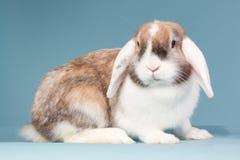 Dutch mini-lop in the studio. Dutch white-eared mini-lop rabbit in the studio Royalty Free Stock Photos