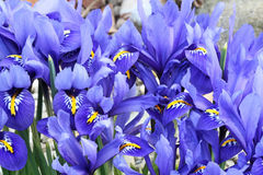 Dutch miniature blue iris (Iris reticulata) Royalty Free Stock Photography