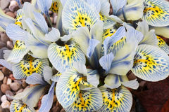 Dutch miniature iris (Iris reticulata) Stock Photo
