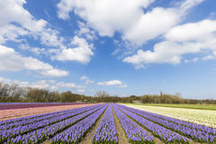 Dutch multi colors hyacinthe bullb farm Royalty Free Stock Image