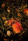 Dutch Mushrooms in Nature Stock Images