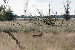 National Park Oostvaardersplassen with deer in mating season Stock Photos
