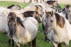 Dutch National Park Oostvaardersplassen with herd of konik horses stock photography
