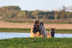 Dutch National Park Oostvaardersplassen with konik horse and foal. Behind a little hill near a pool of water royalty free stock images