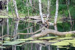 Dutch national park with swamp and fallen tree in water. Dutch national park with swamp and fallen tree in the water stock photo