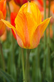 Dutch Orange Tulip Royalty Free Stock Photos