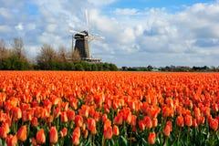 Dutch orange tulip field scene in Julianadorp. Dutch orange tulip field garden photo from Julianadorp in The Netherlands stock photos