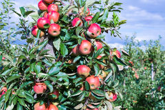 Dutch orchard with maturing apples Royalty Free Stock Images