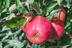 Dutch orchard with maturing apples Stock Photography