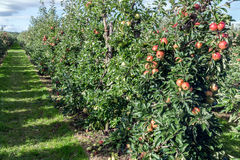 Dutch orchard with maturing apples Stock Photos