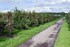 Dutch orchard with maturing apples Stock Images