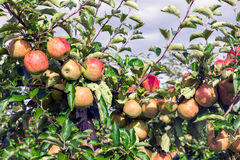 Dutch orchard with maturing apples Stock Image
