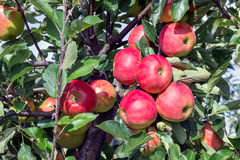 Dutch orchard with maturing apples Royalty Free Stock Image