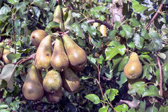 Dutch orchard with maturing pears Royalty Free Stock Image