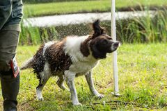 Dutch partridge dog, Drentse patrijs hond, shaking to get rid of water in his fur with water splashing in the sunlight royalty free stock image