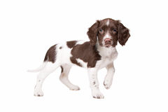 Dutch partrige dog Stock Images