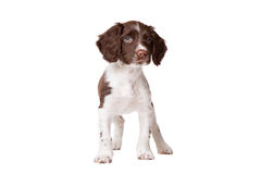 Dutch partrige dog, Drentse patrijs hond puppy Royalty Free Stock Image