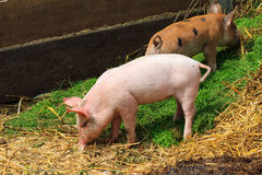 Dutch piglets outside Stock Photography