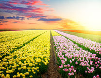 Dutch pink  tulip fields Royalty Free Stock Photography