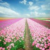Dutch pink  tulip fields Royalty Free Stock Photos