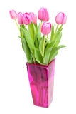 Dutch pink tulips Stock Images