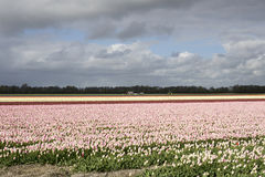 Dutch pink tulips Stock Image