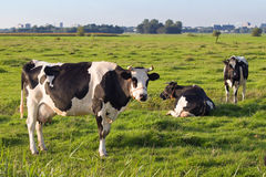 Dutch polder with a few Friesian dairy milch cows. Dutch polder landscape with a few milch cows of the famous race Friesian Dairy or Fries Stamboek grazing on Stock Photo