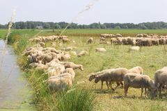 Dutch polder landscape,flock of sheep at riverside Royalty Free Stock Image