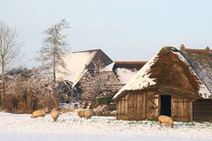 Snowy Dutch polder landscape with a sheepfold  Stock Images