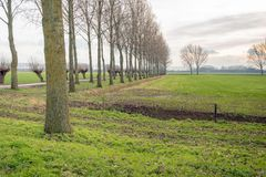 Dutch polder landscape with tall poplar trees and pollard willows along a country road stock image