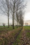 Dutch polder landscape with tall poplar trees and pollard willows along a country road stock photo