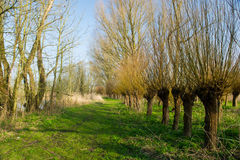 Dutch pollard willows Stock Image