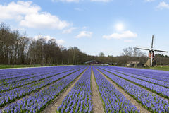 Dutch purple hyacinthe bullb farm royalty free stock images