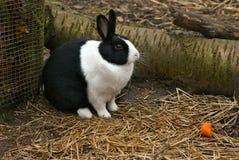 Dutch Rabbit Royalty Free Stock Photography