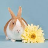 Dutch rabbit. Hollander rabbit with yellow flower Stock Photography