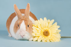 Dutch rabbit with blue background. Hollander rabbit with yellow flower on a blue background Royalty Free Stock Photography