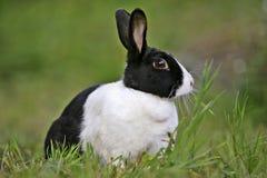 Dutch Rabbit  feeding grass Stock Photo